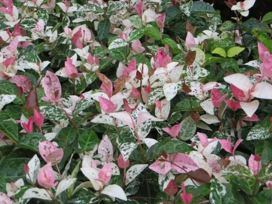 Asiatic jasmine/ ハツユキカズラ