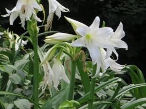Hardy swamplily/ インドハマユウ