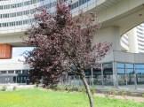 ヨーロッパブナの木 紫系幼木