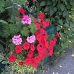 ペチュニアの花 赤