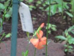 フシグロセンノウ 花のアップ
