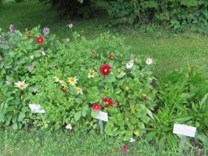 ダリア Flowers of garden dahlia