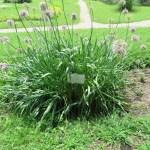 アリウム pink lily leek ピンクリリーリーク Whole plant of pink lily leek