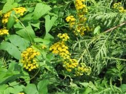 タンジーの花と葉