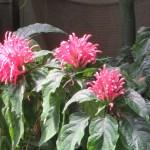 ウスイロサンゴバナ 花と植物の様子