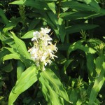 ハナシュクシャ 白色系草の姿
