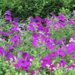 ペチュニアの花 紫