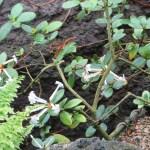 ロードデンドロン・ヤスミニフロルムの花の様子
