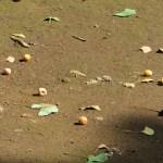 イチョウ 地面に落ちた銀杏