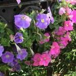 Petunia/ ペチュニア