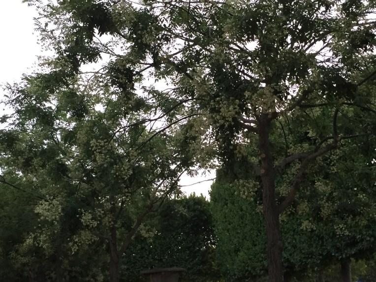 Japanese Pagoda Tree/ エンジュ