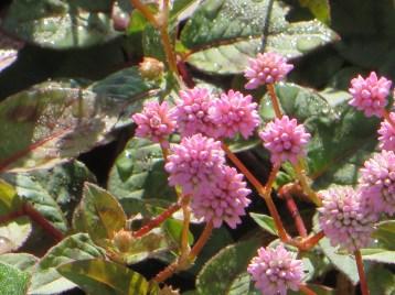 Pink-head knotweed/ ヒメツルソバ