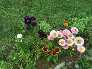 ヒナギクの花々