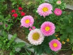Daisy/ ヒナギク