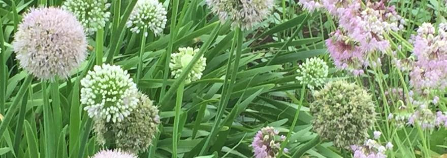 Allium/ アリウム