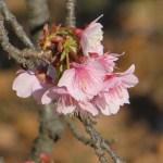 早咲きのカンザクラ