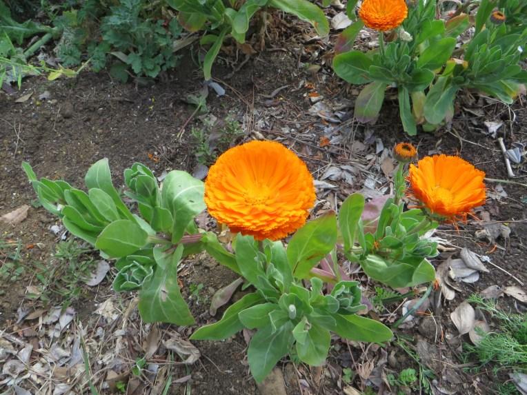 Pot marigold/ キンセンカ
