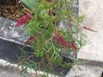 Grevillea Bronze Rambler/ ブロンズランバー
