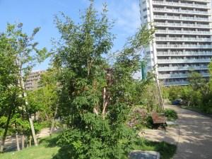 アオダモの木の様子