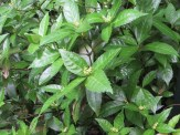センリョウの花と葉