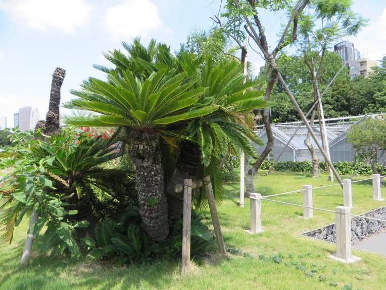 Chusan Palm/ シュロ