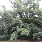クヌギの木の様子