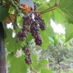 紫色のブドウの実