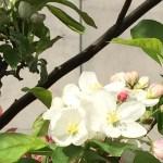 ヒメリンゴの花 アップ