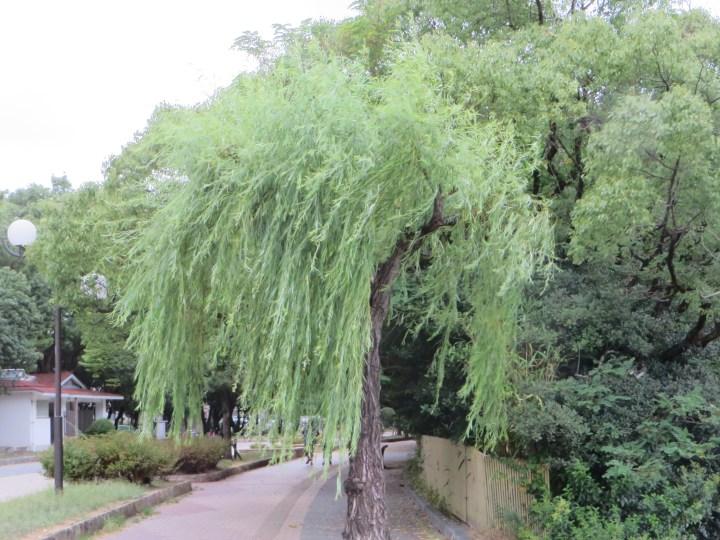 Weeping willow/ シダレヤナギ
