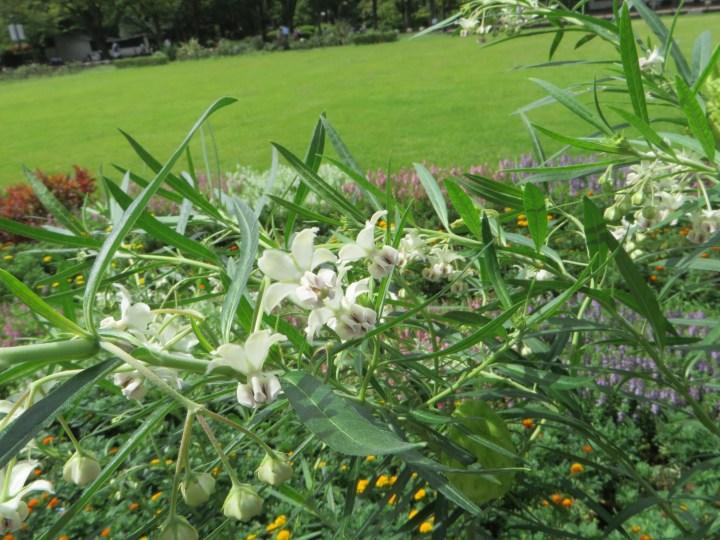 フウセントウワタの花の姿