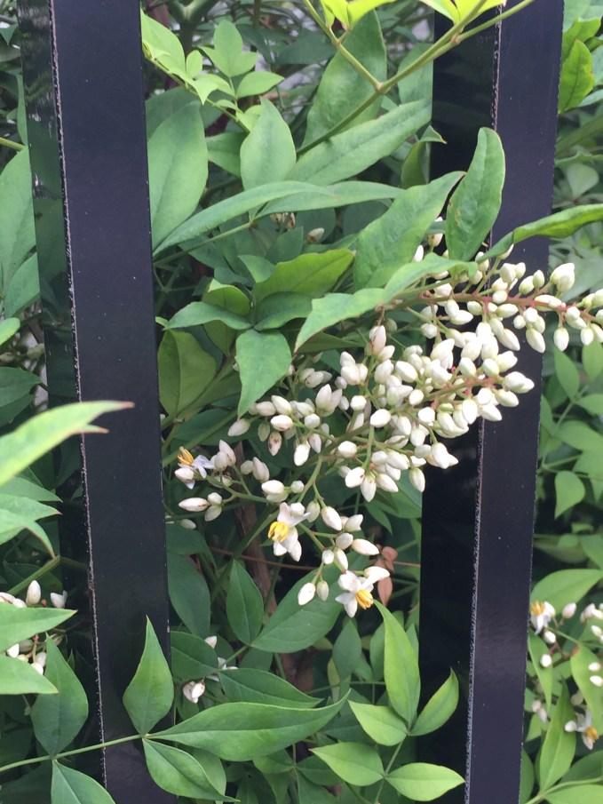 白いナンテンの花