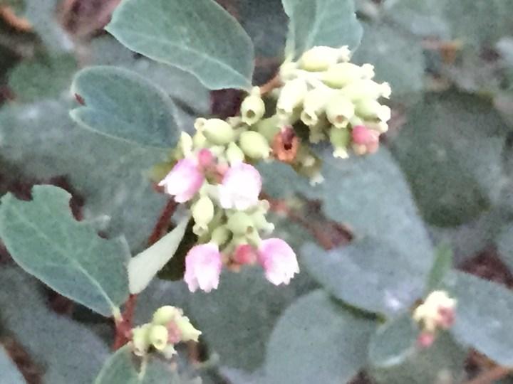 セッコウボクの花