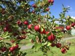 Apple/ リンゴ