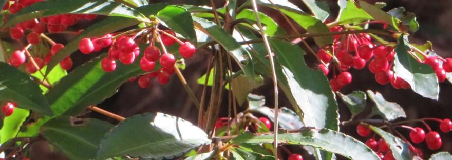 Christmas berry/ マンリョウ