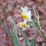スイセンの花のアップ