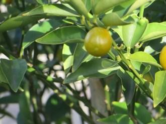 Kumquats/ キンカン