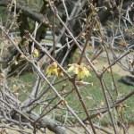 早咲きのロウバイの様子