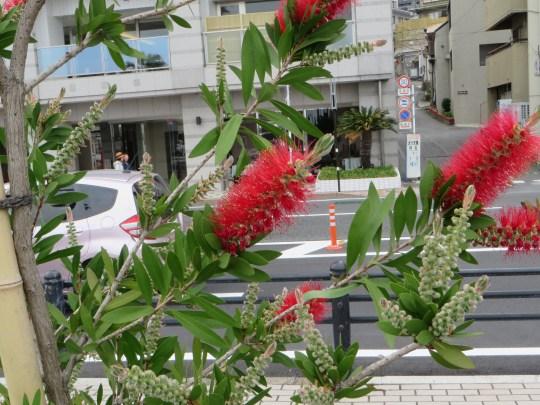 ブラシノキの花