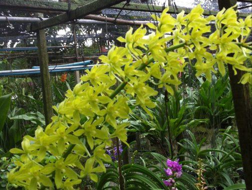 Bell orchid/ グラマトフィラム