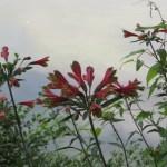 ユリズイセンの花の姿