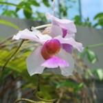 カトレアの花 アップ