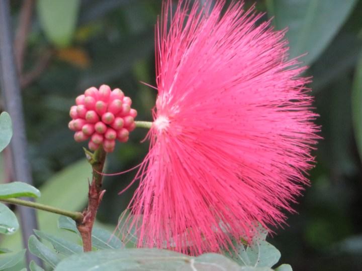 オオベニホウガン 花のアップ