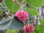 Pinkball/ ドンベア・ウォリキー