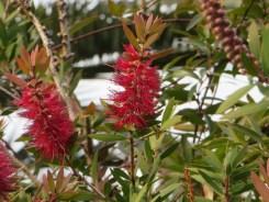 冬にも咲いているブラシノキ