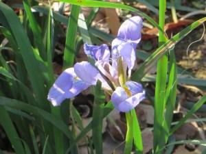 カンアヤメ 花のアップ
