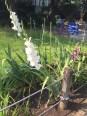 花壇のグラジオラスの花(白)