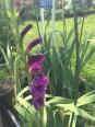 グラジオラスの花(紫)