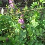 ムラサキケマンの花の様子