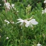 Lindheimer's beeblossom/ハクチョウソウ
