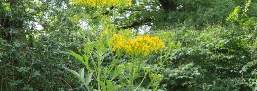 Golden Ragwort / セネシオドリア